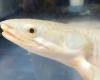 魚の陸上化で目が大きくなる?